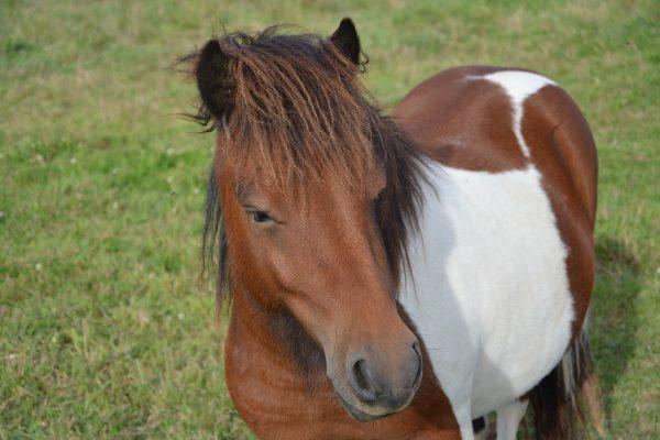 shetland-pony-2709957_1920